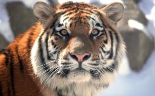 Thumbnail for - Банк ВТБ передаст WWF России пять миллионов долларов на сохранение редких кошек